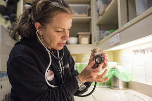 Dr. Alex Herman, the head veterinarian at the Oakland Zoo, performs a check up on a tenrec.