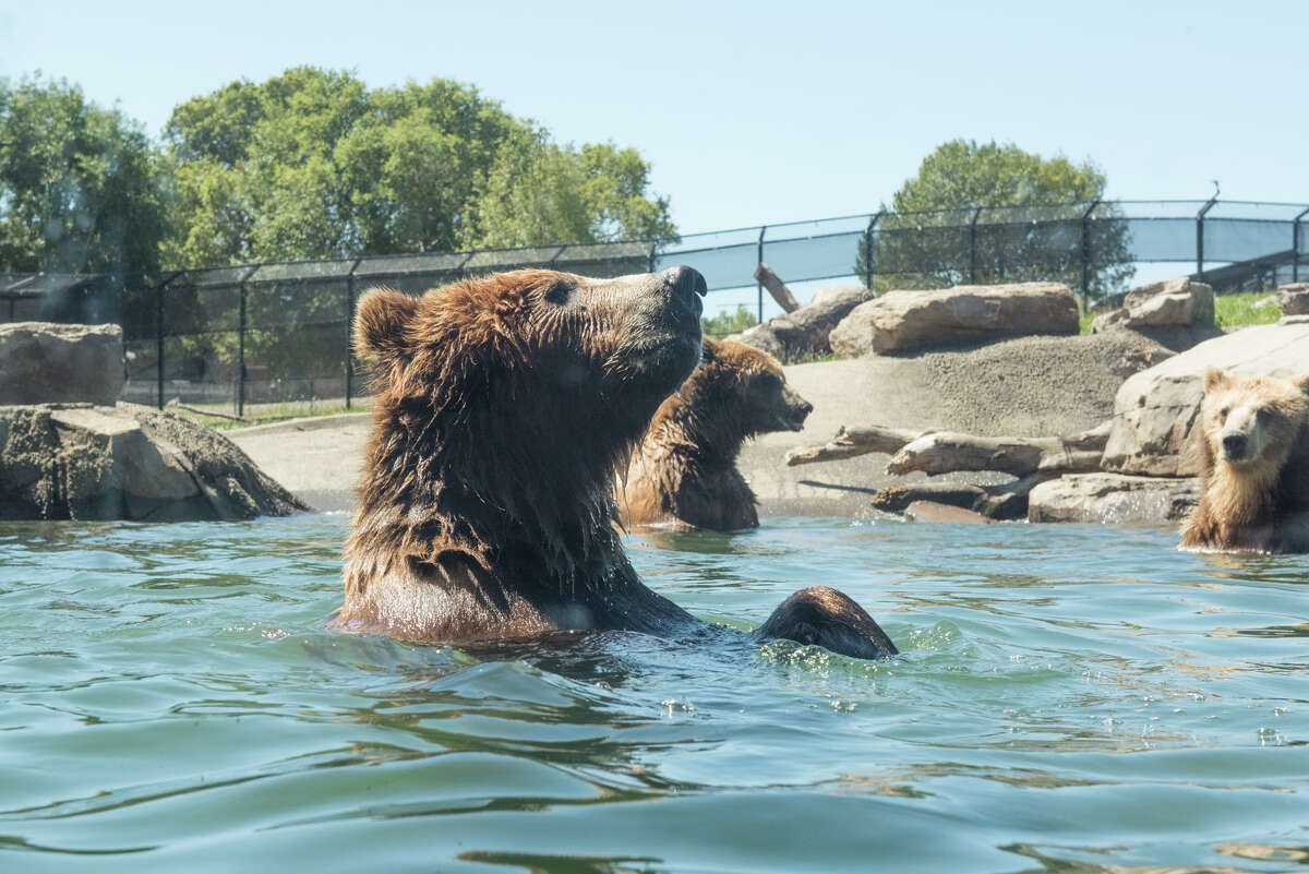 Two grizzly bears and two coastal bears swim for apples and bell peppers tossed into their exhibit at Oakland Zoo.