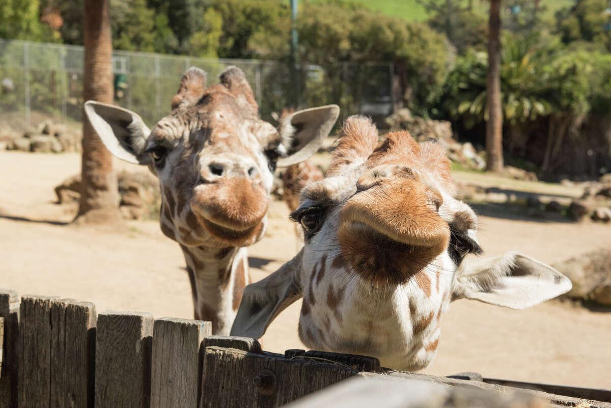Giraffes at Oakland Zoo.