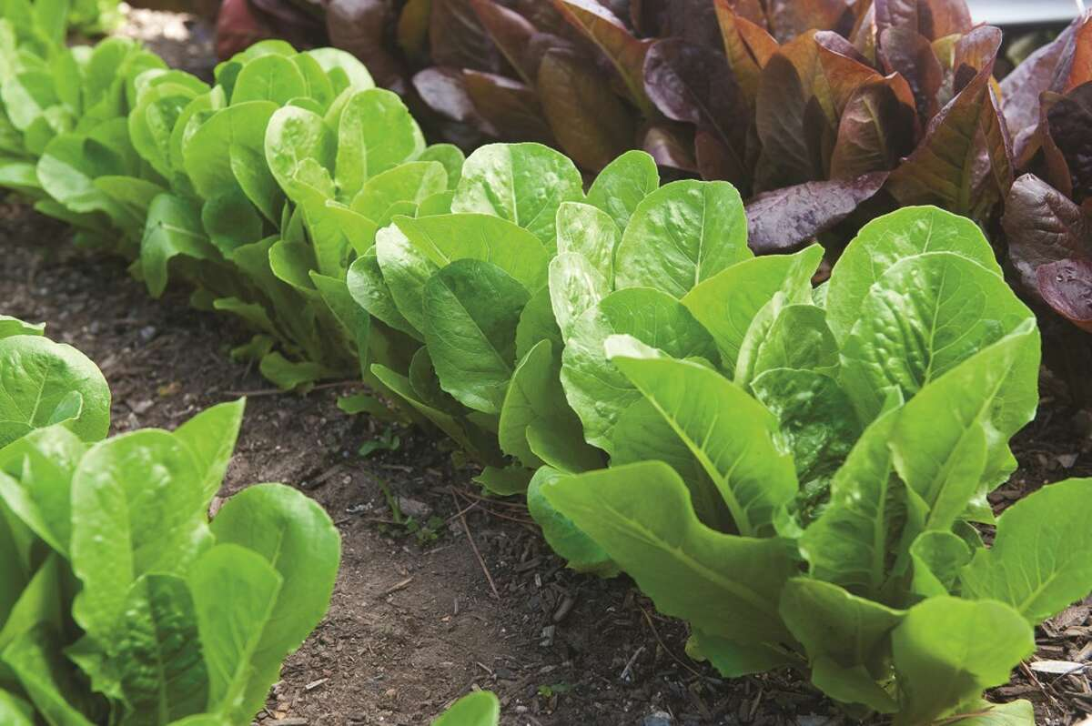 Sales of seed of lettuce and other leafy greens are brisk as consumers turn to growing their own food amid the coronavirus emergency. MUST CREDIT: Rob Cardillo/W. Atlee Burpee & Co.