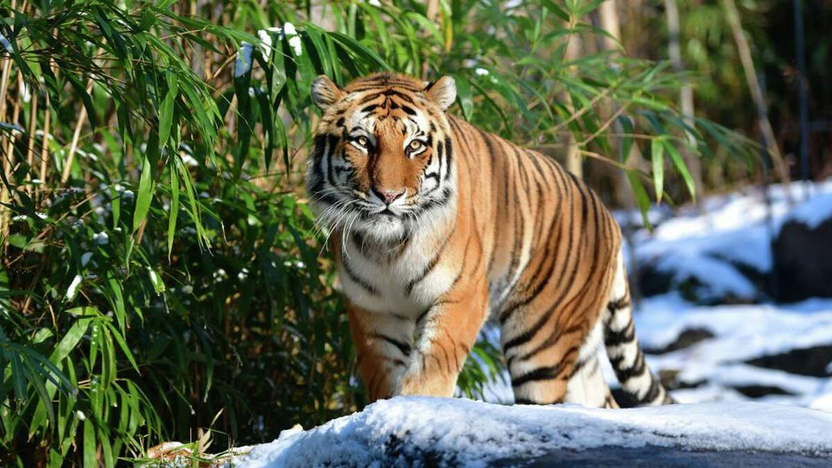 A total of eight big cats at the Bronx Zoo have tested positive for SARS-CoV-2, the coronavirus which causes COVID-19.
