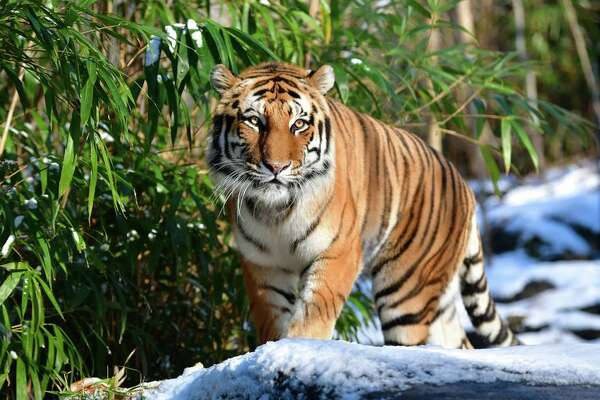 A 4-year-old tiger at the Bronx Zoo in New York has tested positive for COVID-19