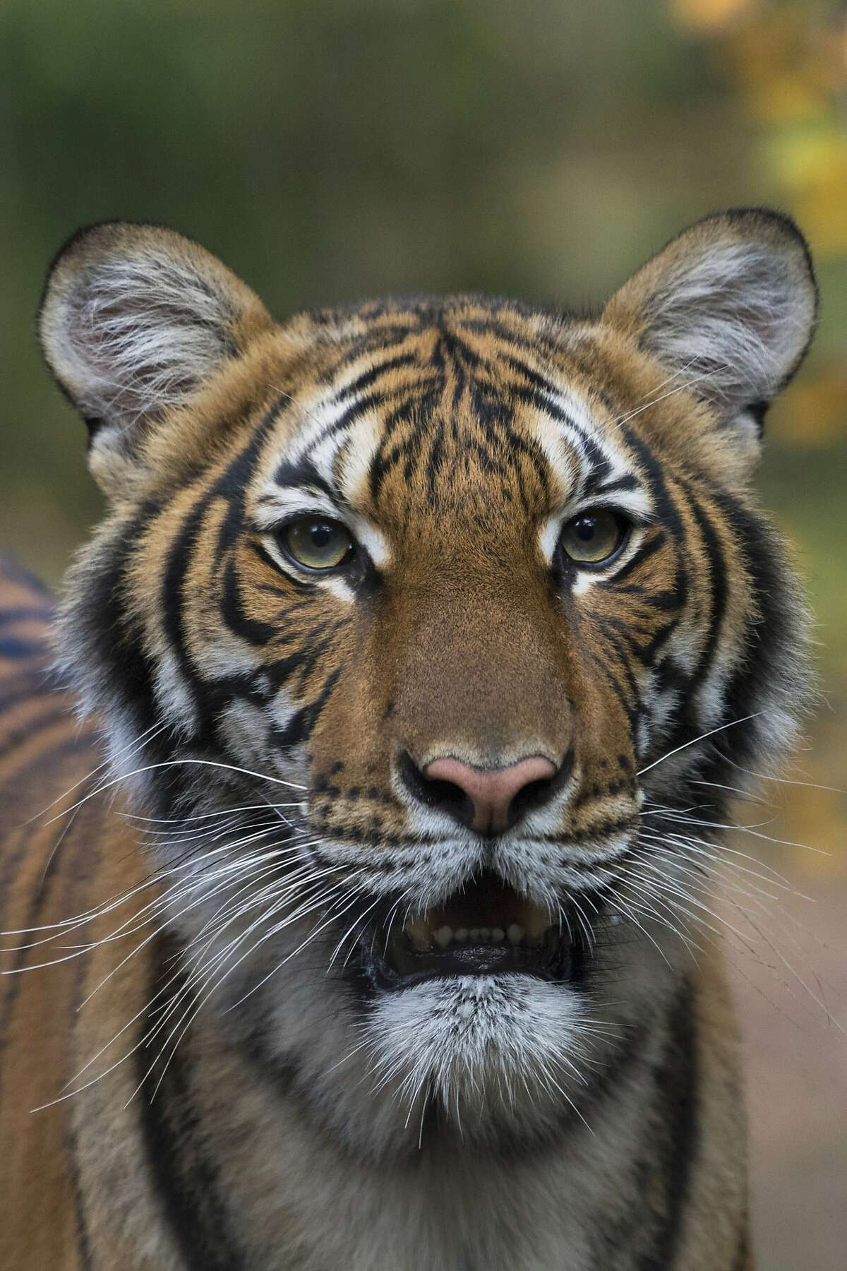 This undated photo provided by the Wildlife Conservation Society shows Nadia, a Malayan tiger at the Bronx Zoo in New York. Nadia has tested positive for the new coronavirus, in what is believed to be the first known infection in an animal in the U.S. or a tiger anywhere, federal officials and the zoo said Sunday, April 5, 2020.