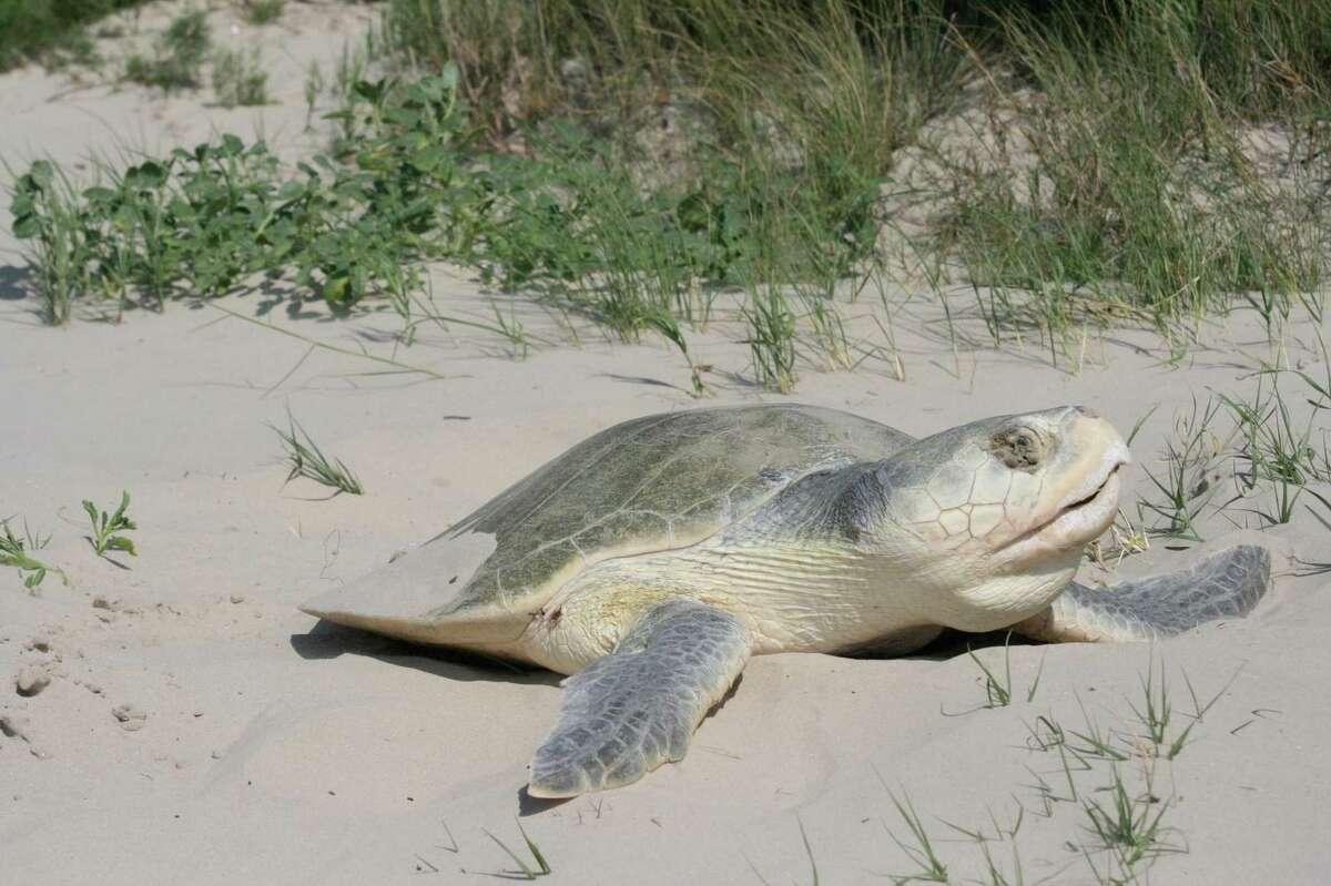 The Turtle Island Restoration Network has had to delay the start of its regular volunteer patrols.
