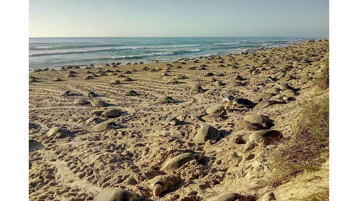The Kemp's ridley turtle remain an endangered species, even 30 years after species restorations efforts began in Mexico and along the Texas Gulf Coast.
