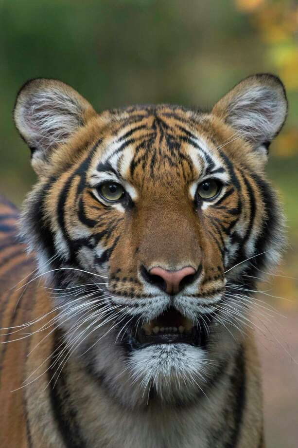 This undated photo provided by the Wildlife Conservation Society shows Nadia, a Malayan tiger at the Bronx Zoo in New York. Nadia has tested positive for the new coronavirus, in what is believed to be the first known infection in an animal in the U.S. or a tiger anywhere, federal officials and the zoo said Sunday, April 5, 2020. (Julie Larsen Maher/Wildlife Conservation Society via AP) Photo: Julie Larsen Maher / WILDLIFE CONSERVATION SOCIETY