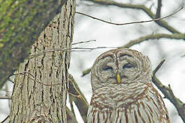 A barred owl gets in a ittle naptime.