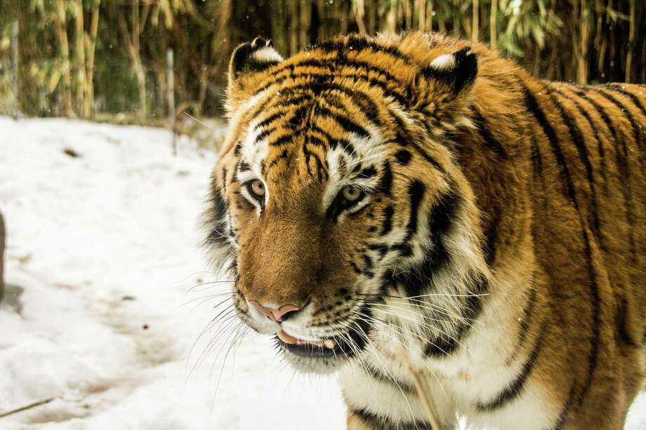 A tiger at the Bronx Zoo in winter 2014. Nadia the tiger has tested positive for the new coronavirus, in what is believed to be the first known infection in an animal in the U.S. or a tiger anywhere, federal officials and the zoo said Sunday, April 5, 2020. (Dreamstime/TNS) Photo: Dreamstime / TNS / Dreamstime