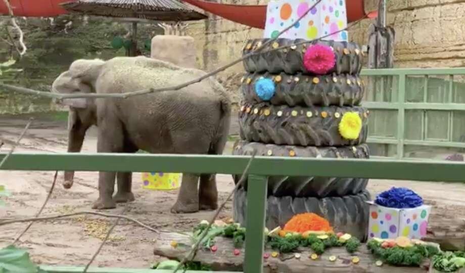 Lucky, a beloved elephant at the San Antonio Zoo, celebrated her 60th birthday Sunday. Photo: San Antonio Zoo