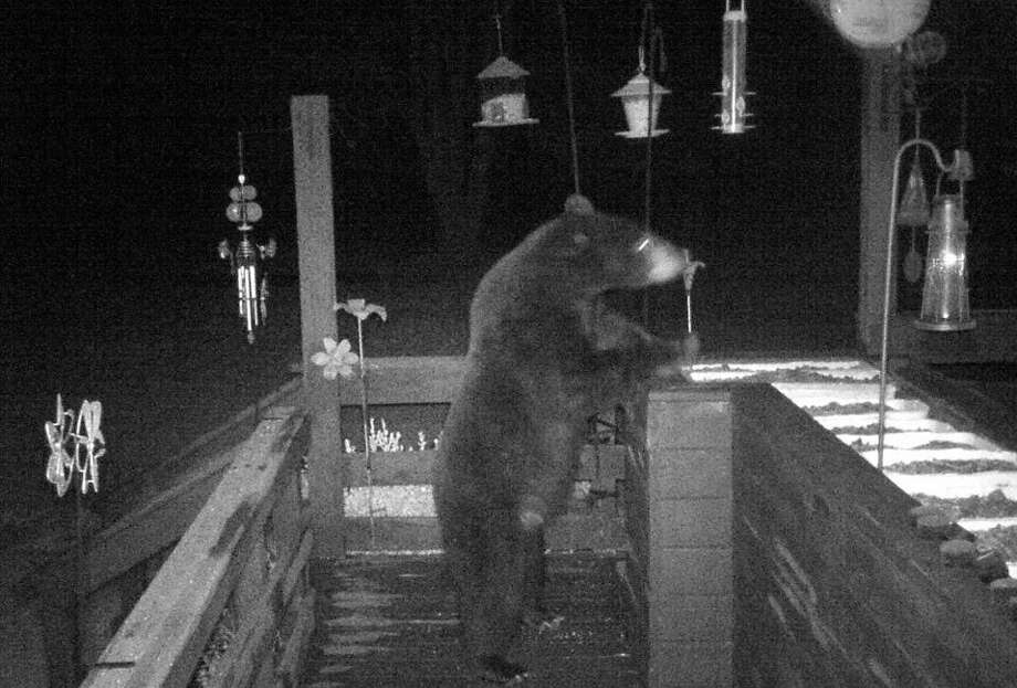 This black bear was photographed Saturday night in Kaleva. (Courtesy Photo) / Copyright 2008