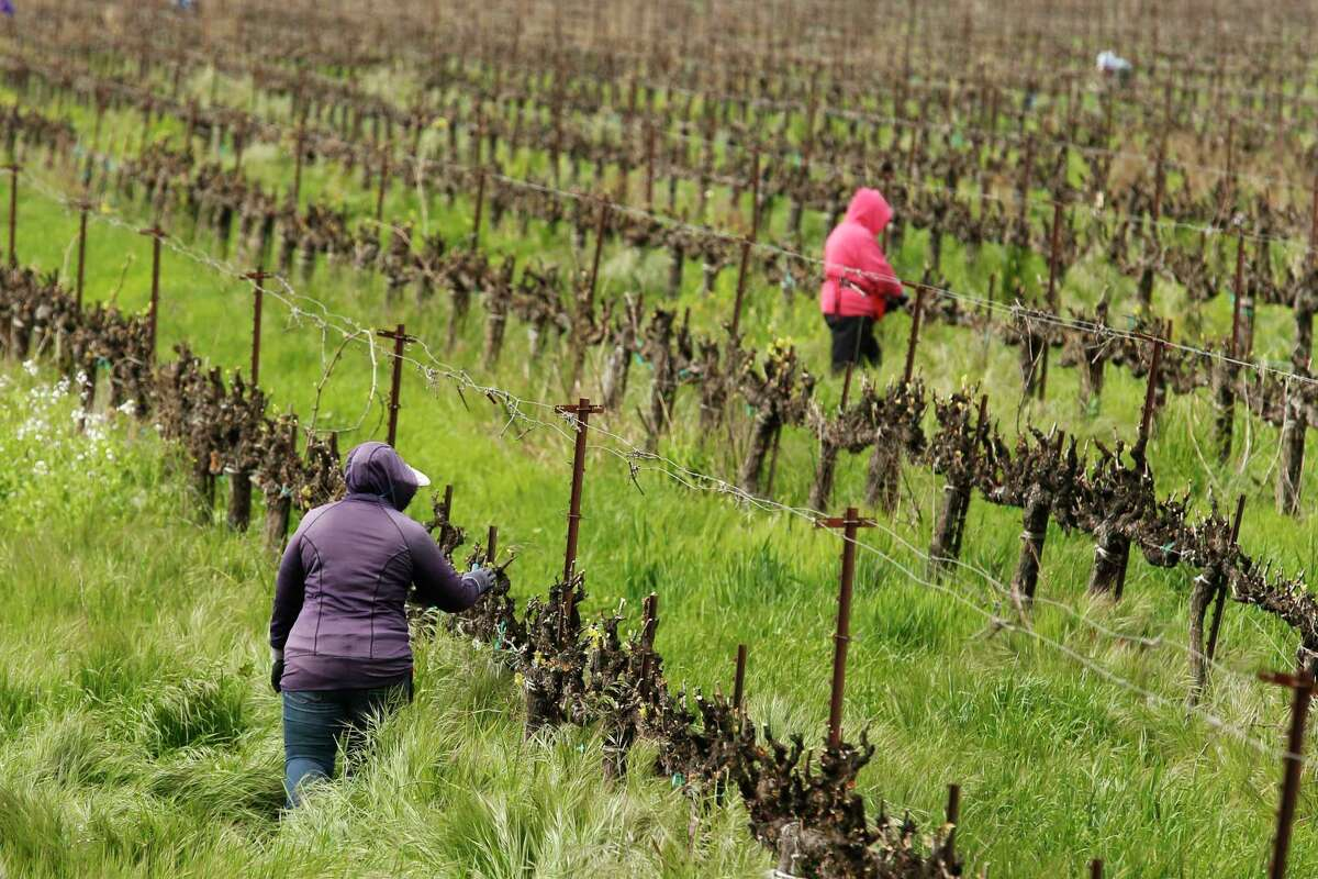 In this March 24, 2020, photo, farmworkers keep their distance from each other as they work at the Heringer Estates Family Vineyards and Winery in Clarksburg, Calif. Farms continue to operate as essential businesses that supply food to California and much of the country.