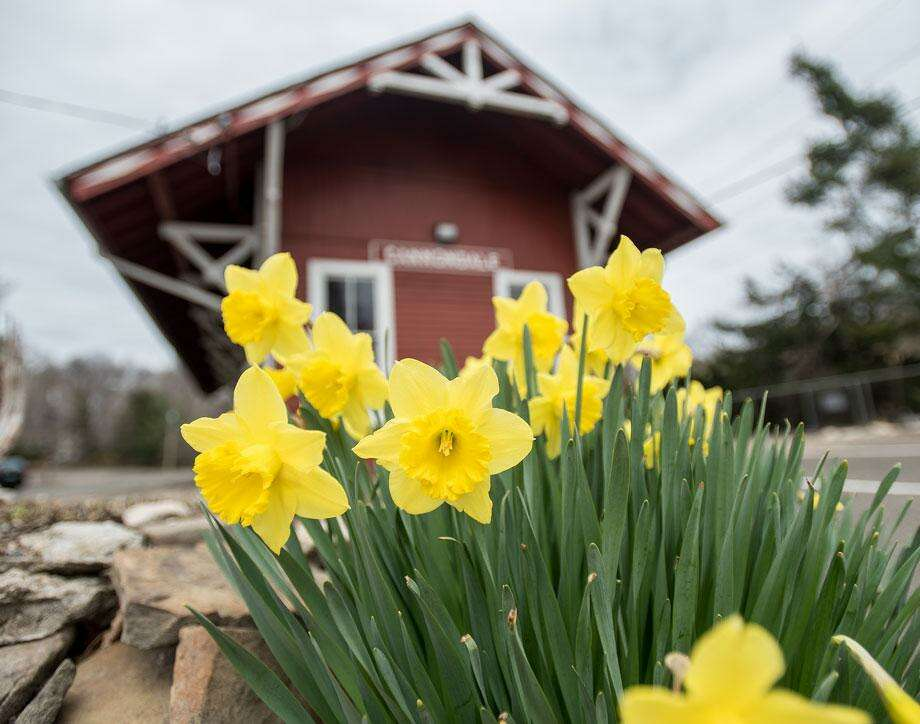 Daffodils bring color and life to an otherwise very quiet Cannondale train station in Wilton. Photo: Bryan Haeffele /Hearst Connecticut Media / BryanHaeffele