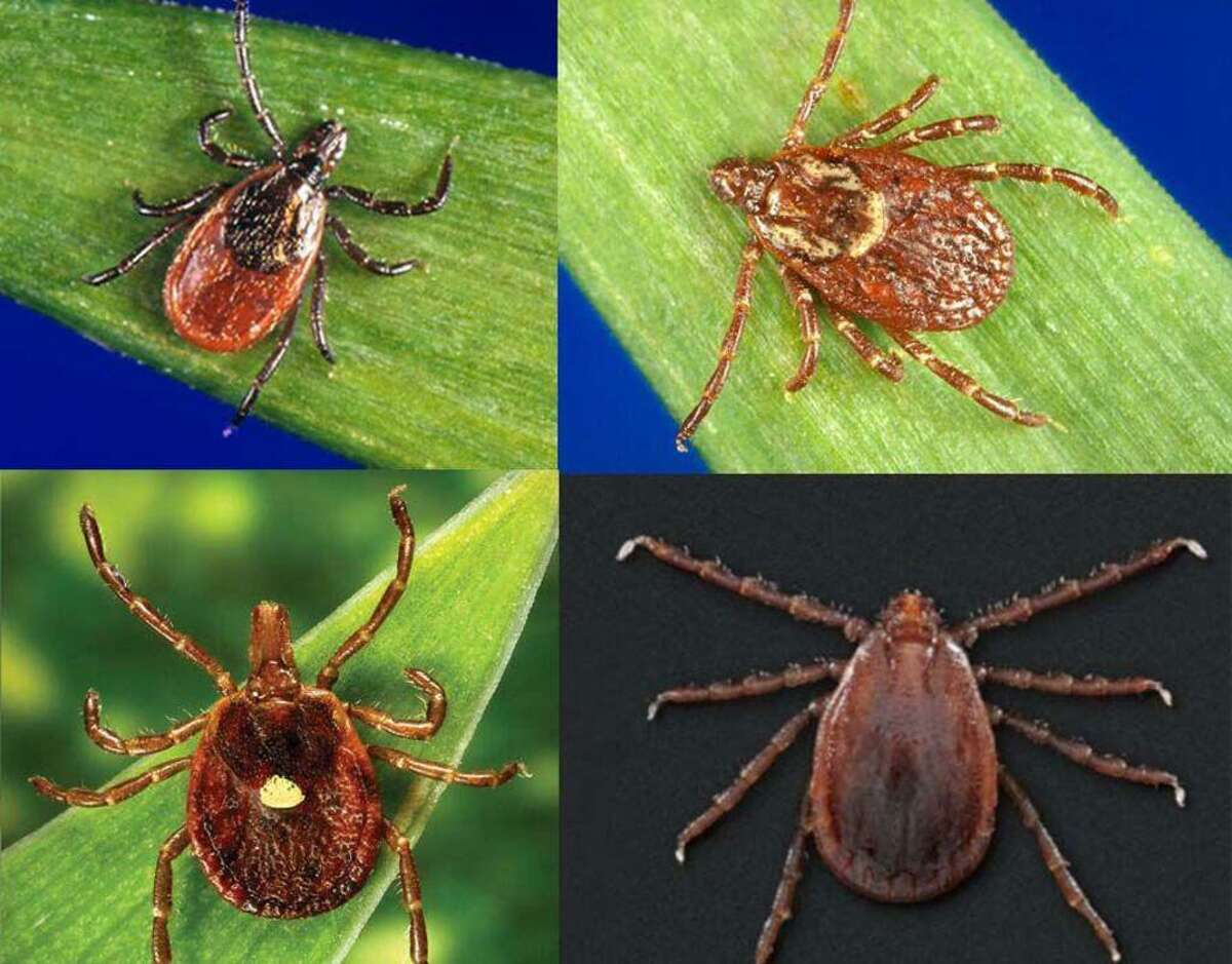 Top, from left: The blacklegged or deer tick and American dog tick; bottom, from left: lone star tick andAsian longhorned tick