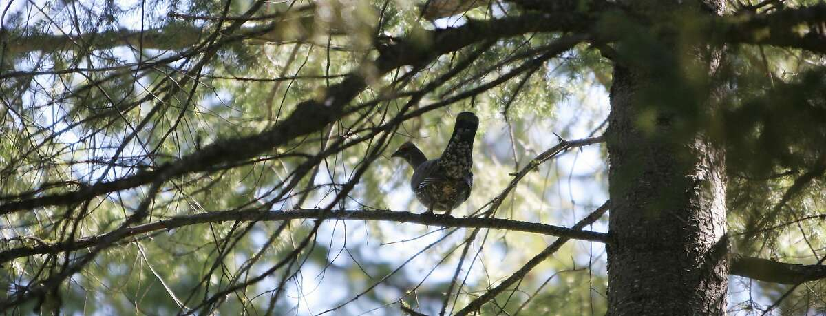 A male blue grouse in a fir tree near the rim of Tieton Canyon in Yakima County.