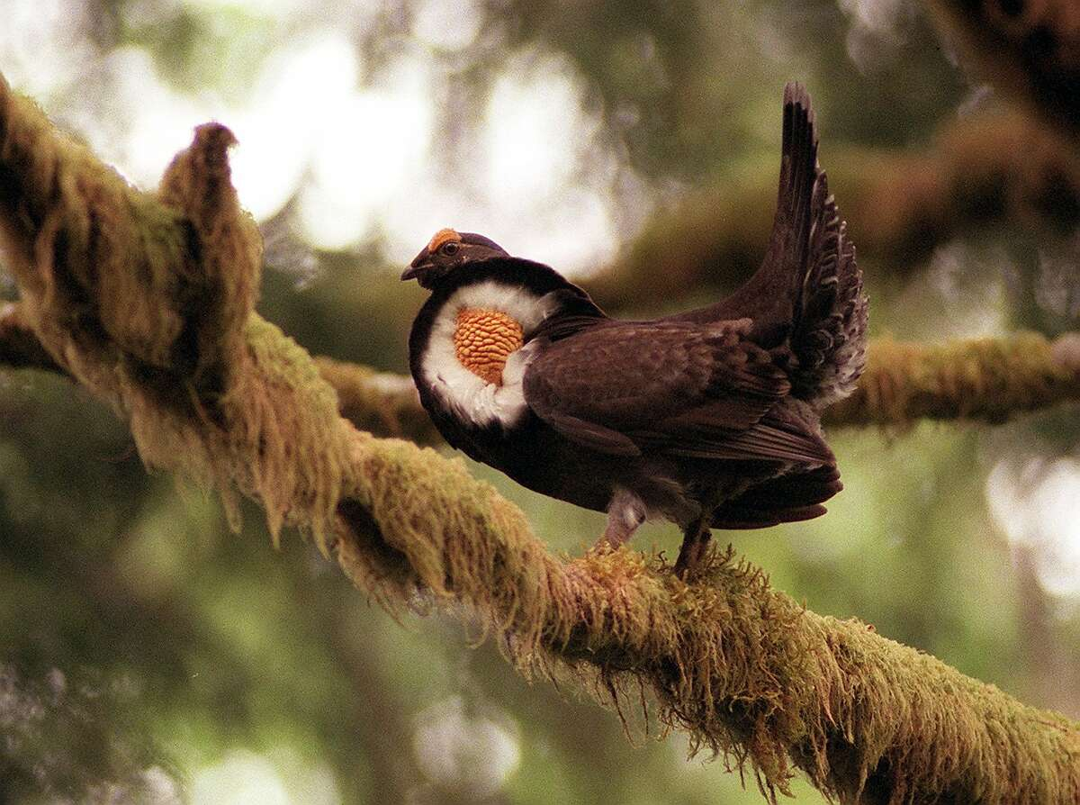 A grouse defends its territory with ruffled feathers and a deep thumping noise from a mossy tree in Washington.