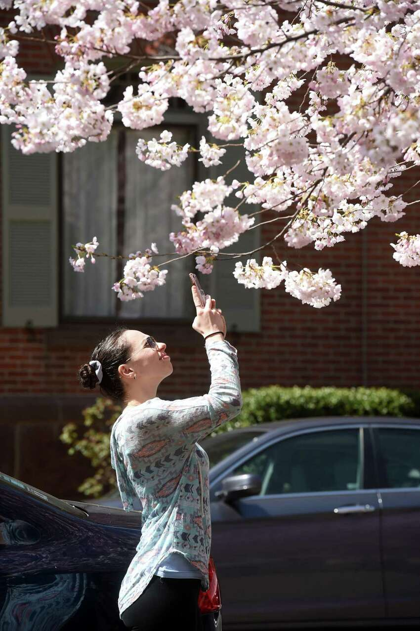 Corrie Asseo of New Haven takes photographs of the cherry blossoms on Wooster Square in New Haven on April 7, 2020. The 47th Annual Cherry Blossom Festival planned for Sunday April 19th has been cancelled.