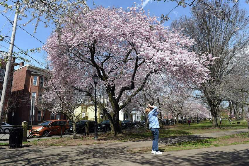 Amie Faming of Clinton takes a break from delivering meals to photograph the cherry blossoms on Wooster Square in New Haven on April 7, 2020. The 47th Annual Cherry Blossom Festival planned for Sunday April 19th has been cancelled.