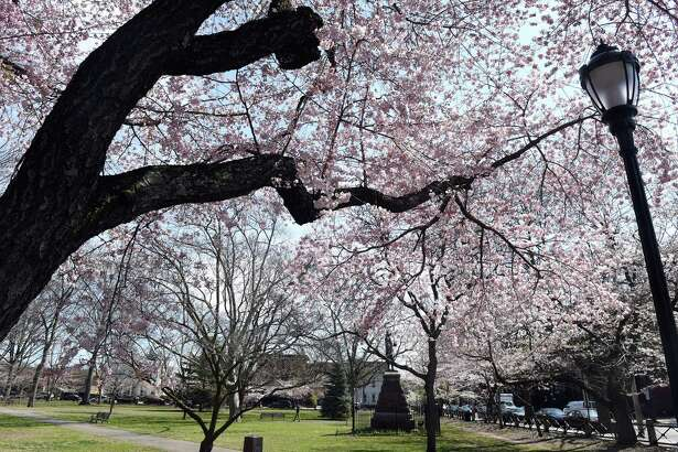 Cherry blossoms bloom in Wooster Square in New Haven on April 7, 2020. The 47th Annual Cherry Blossom Festival planned for Sunday April 19th has been cancelled.