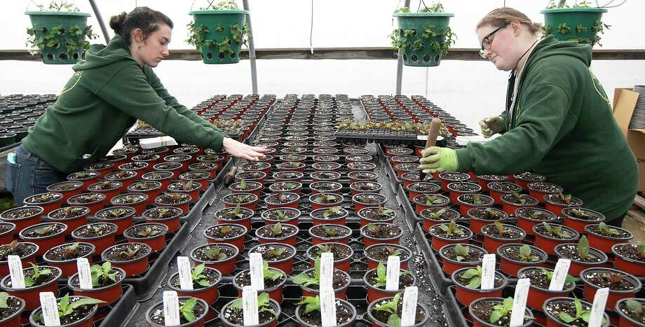 Winterberry Gardens employees keep their distance in late March 2020 at a greenhouse in Southington, Conn. Photo: DAVE ZAJAC / Associated Press / Dave Zajac