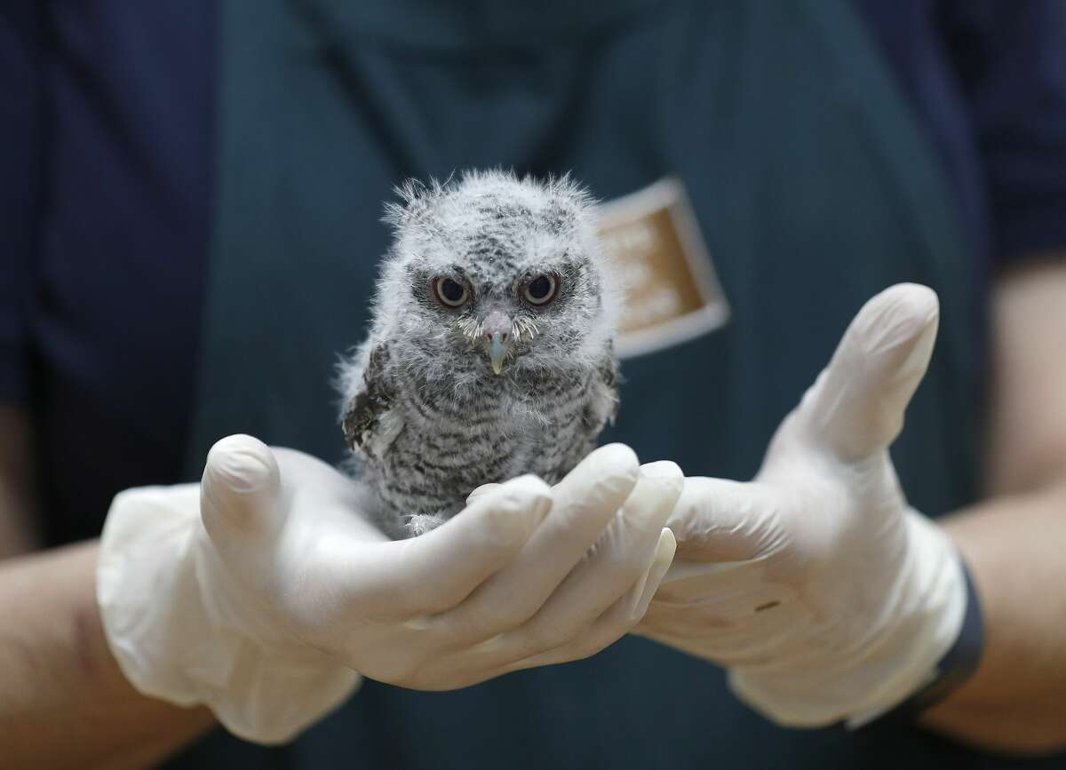 Executive Director Sharon Schmalz holds a baby Eastern Screech Owl at the Houston SPCA's Wildlife Center of Texas, in Houston, Wednesday, April 8, 2020. The Houston SPCA's Wildlife Center remains open and continues to provide lifesaving services during the pandemic and intakes 60-90 orphaned and injured wild animals each day. The higher intake number is mostly attributed to more people staying at home during the Stay Home Work Safe order.