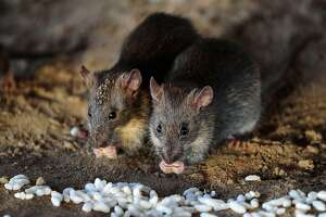 (FILES) In this file photo taken on July 28, 2015 rats eat grains of puffed rice in Allahabad. - Like people, rats cooperate with one another and give food to those in need, but how can they be sure that other rats are being truthful about how hungry they are? The answer may lie in smell-based cues that signal a rat's appetite more reliably than its begging gestures and squeaks, a study said March 24, 2020. (Photo by Sanjay Kanojia / AFP) (Photo by SANJAY KANOJIA/AFP via Getty Images)