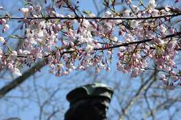 Cherry blossoms bloom near the statue of Christopher Columbus in Wooster Square in New Haven on April 7, 2020. The 47th Annual Cherry Blossom Festival planned for Sunday April 19th has been cancelled.