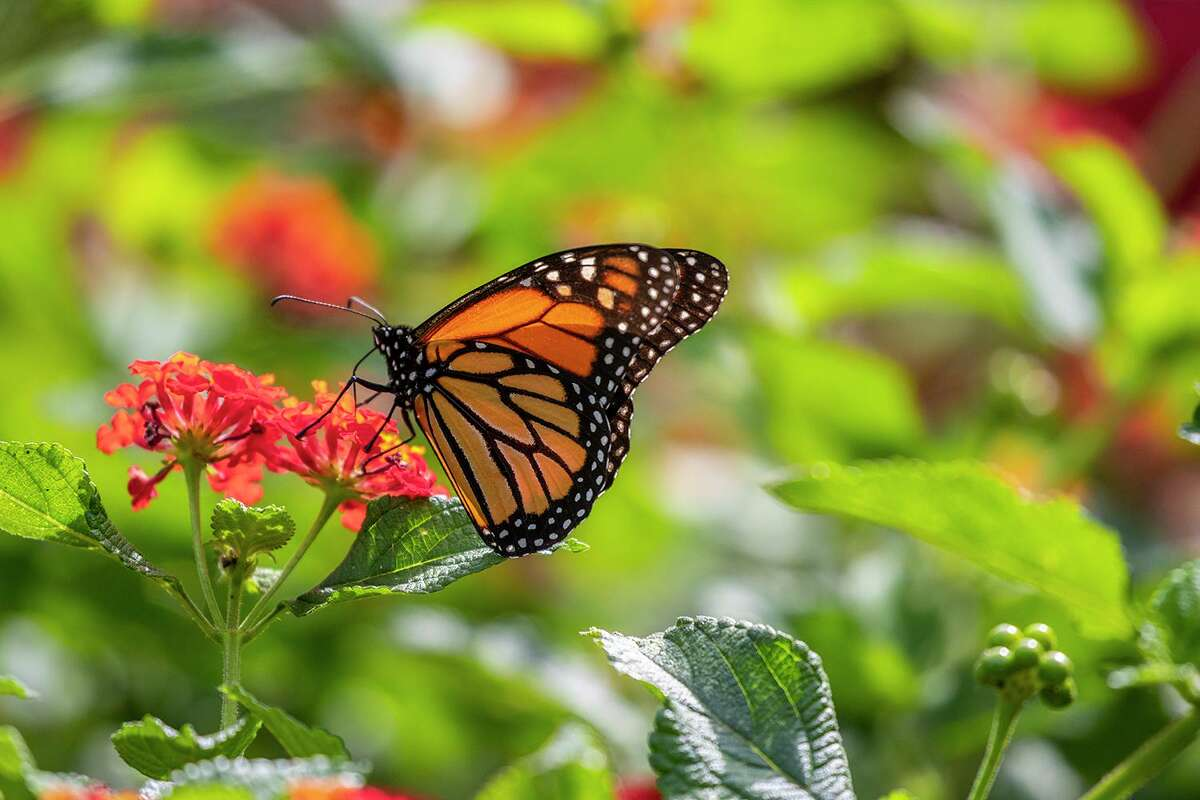 Monarch butterflies are a treat to see in area flower gardens and yards. Photo Credit: Kathy Adams Clark Restricted use.