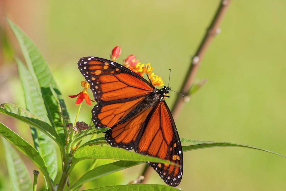 Support monarch butterflies by planting milkeed, the host plant for monarch larvae. Photo Credit: Kathy Adams Clark Restricted use.