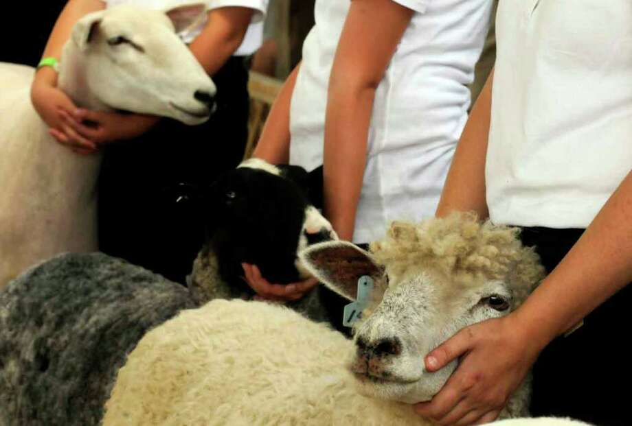 Competitors in the sheep competition hold on to their ewes during the Altamont Fair on Thursday. ( Michael P. Farrell / Times Union ) Photo: Michael P. Farrell