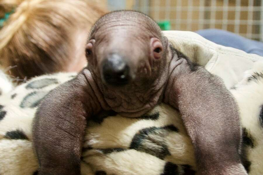 Olive, an 11-year-old giant anteater, gave birth to a yet-to-be-named pup on March 31, 2020. Photo: Houston Zoo