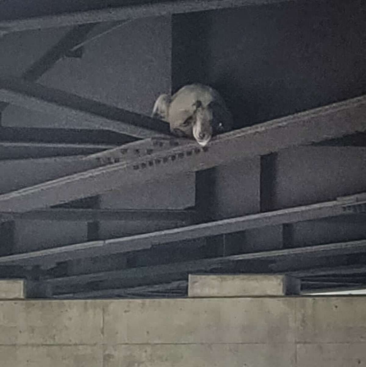 A goat, perhaps taking social distancing to an extreme, needed a rescue after he found himself seemingly trapped on a ledge under a busy highway overpass near Marcy, N.Y.
