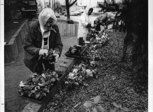 In front of Engine 1, corner of Wester Avenue and Washington Avenue, Albany, New York - Members of the Albany Beautification Committee, Marjorie Maney, Chairperson Mary Mincy, and Evelyn Sturdevan, plant flowers during the April showers as part of the attempt to make Albany more beautiful. April 10, 1990 (Skip Dickstein/Times Union Archive)