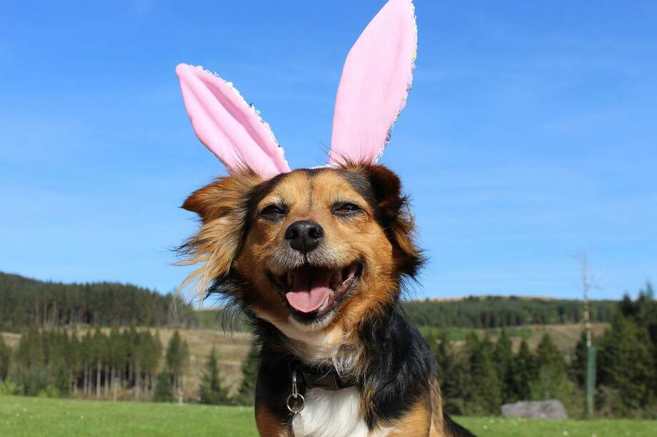 Knowledge of what to keep away from pets is important during Easter and beyond. Photo: Texas A&M University