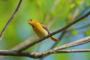Look for migratory birds, like this female Baltimore oriole, in your backyard or on neighborhood walks.  Photo Credit:  Kathy Adams Clark               Restricted use.