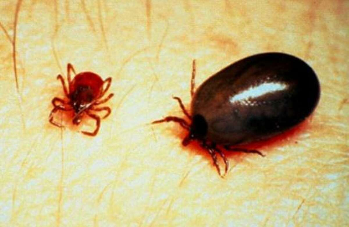 Black-legged, or deer, ticks, both unengorged and engorged with blood.