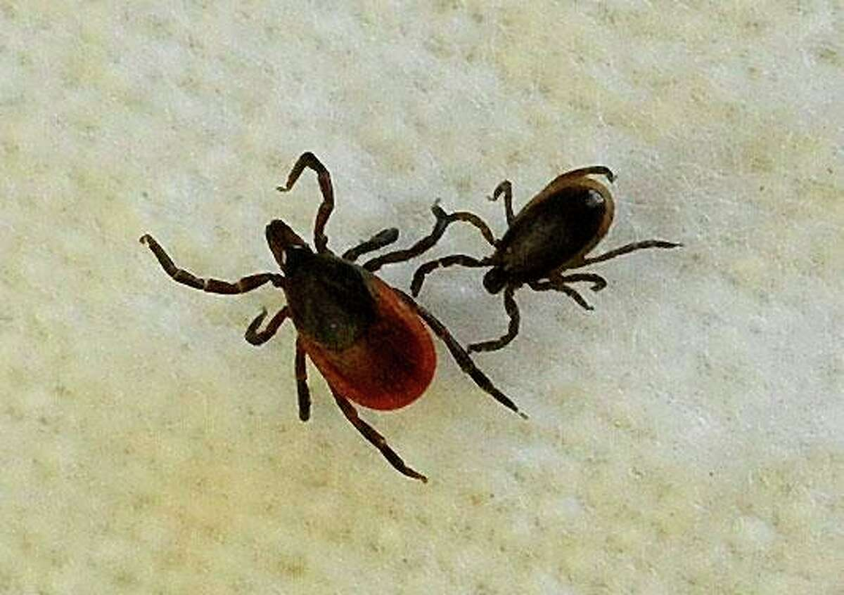 A female blacklegged tick, left, and a male, are shown in assistant professor Neeta Connally's lab at Western Connecticut State University in Danbury April 8, 2013.
