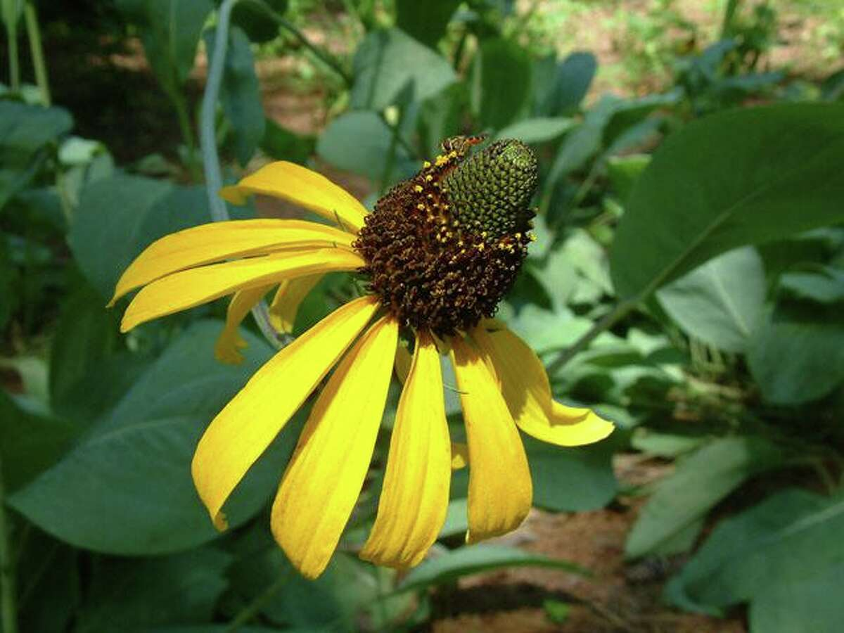 Rudbeckia maxima is also known as Giant Brown-eyed Susan and Giant coneflower.