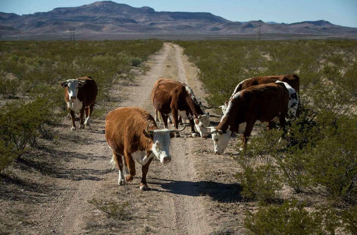 Cattle eat on ranch land near Fort Stockton Saturday, Dec. 21, 2019.