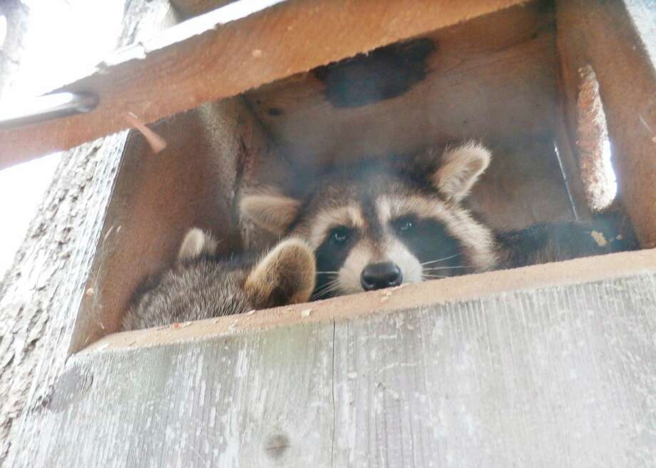 Other species, including this racoon, also use wood duck boxes.Others includesquirrels, screech owls and hooded mergansers.(McLean Nature Preserve)
