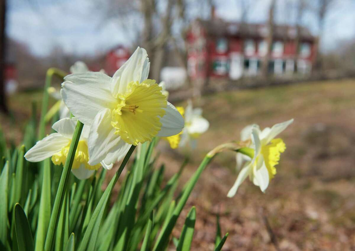 Daffodils Welcome hikers to Weir farm over the weekend.