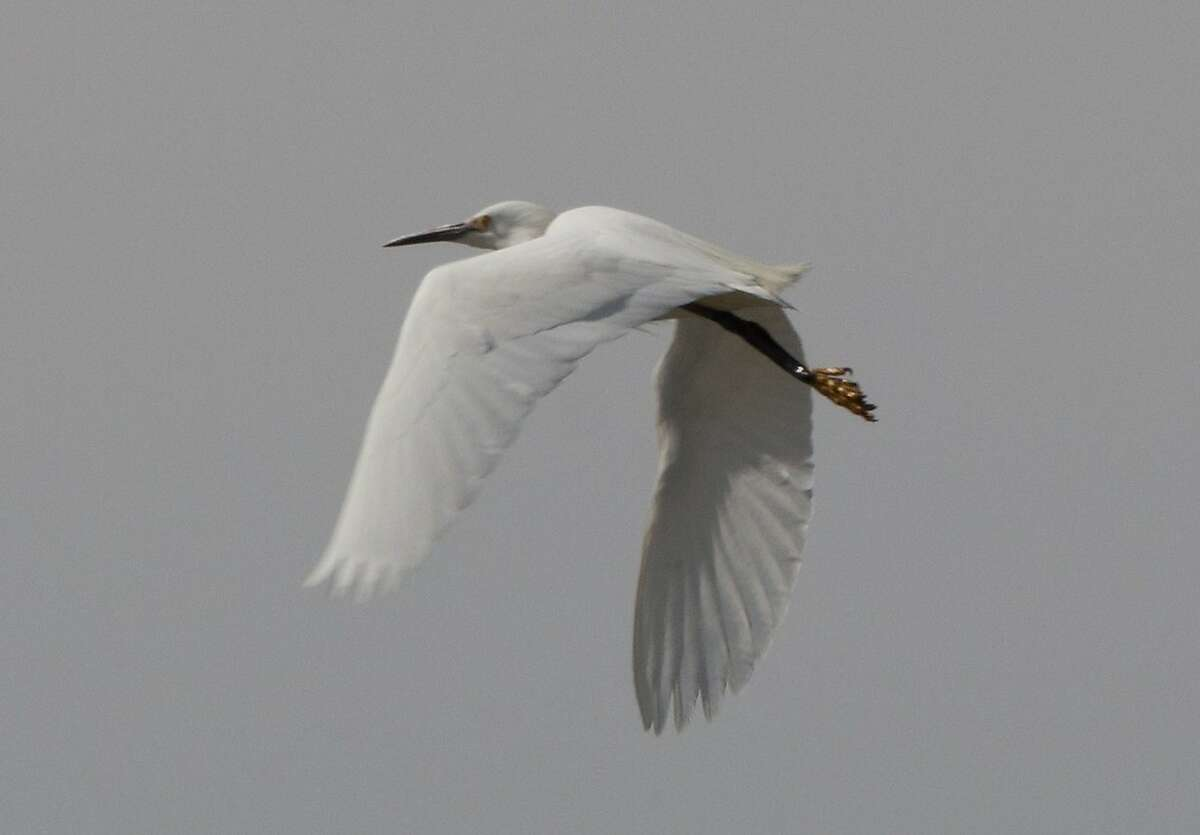 Great egret in flight over shore of San Pablo Bay at Mare Island, the site of the San Francisco Bay Flyway Festival Feb. 13-15, with outings available at wetlands throughout the Bay Area