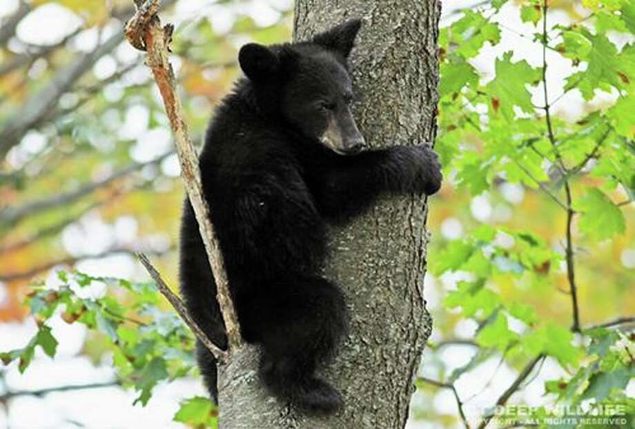 Black bears are commonly seen in many areas of Connecticut. Photo: DEEP / Contributed Photo / All Rights Reserved