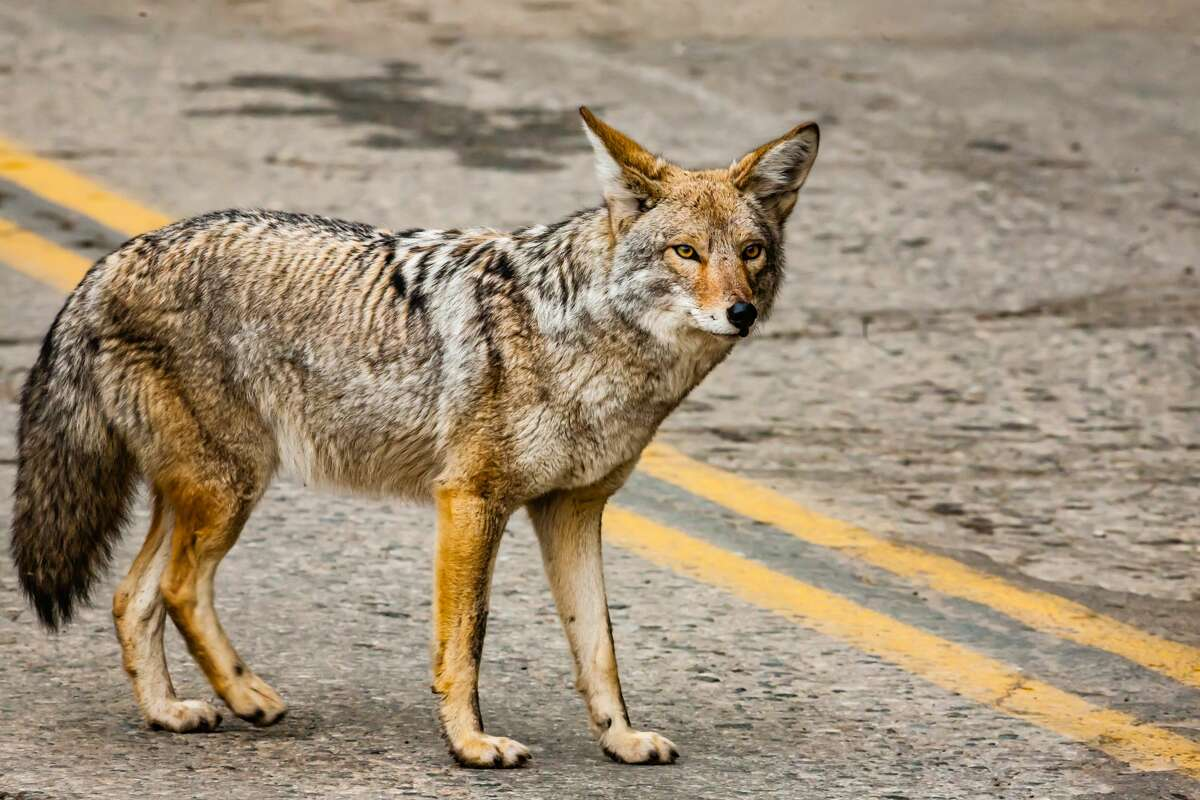 A file photo of a coyote on an urban street.