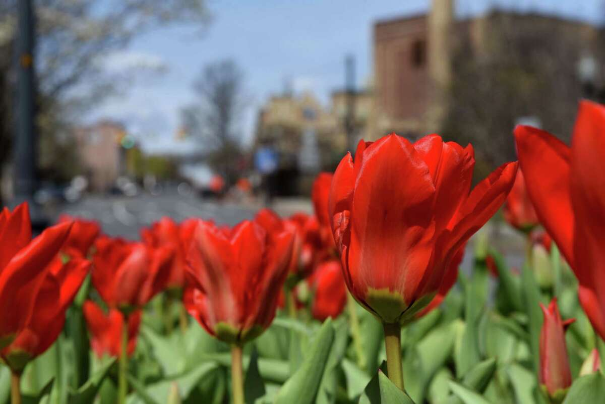 Early tulips brighten the landscape at Clinton Avenue at Broadway on Tuesday, April 14, 2020, in Albany, N.Y. (Will Waldron/Times Union)