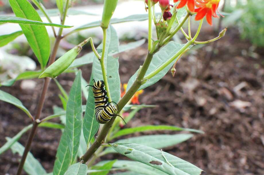 """A monarch butterfly caterpillar feeds on a tropical milkweed, also known as """"butterfly weed"""" in the pollinator garden that was recently created outside the Pasadena Parks and Recreation Department offices. Photo: Kirk Sides / Staff Photographer / © 2020 Kirk Sides / Houston Chronicle"""