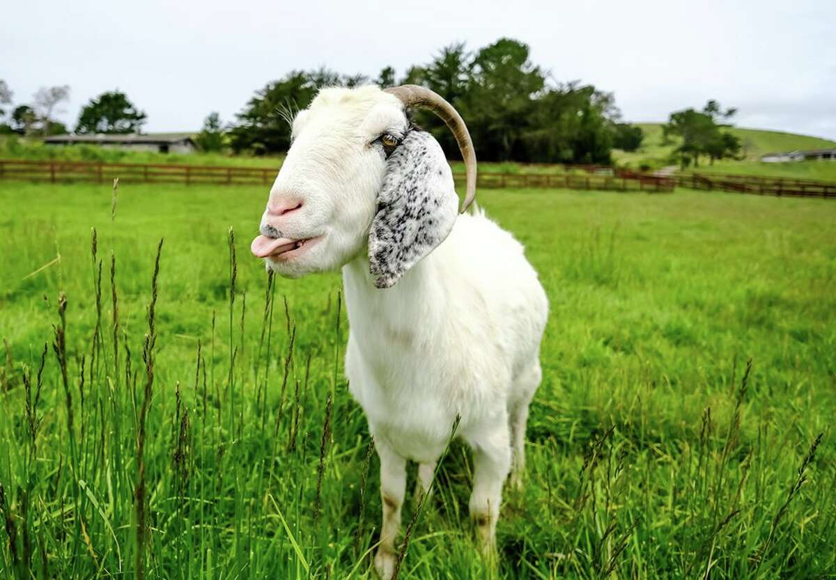 Sweet Farm animals, including goats and llamas, are available for cameos in your Zoom meeting.