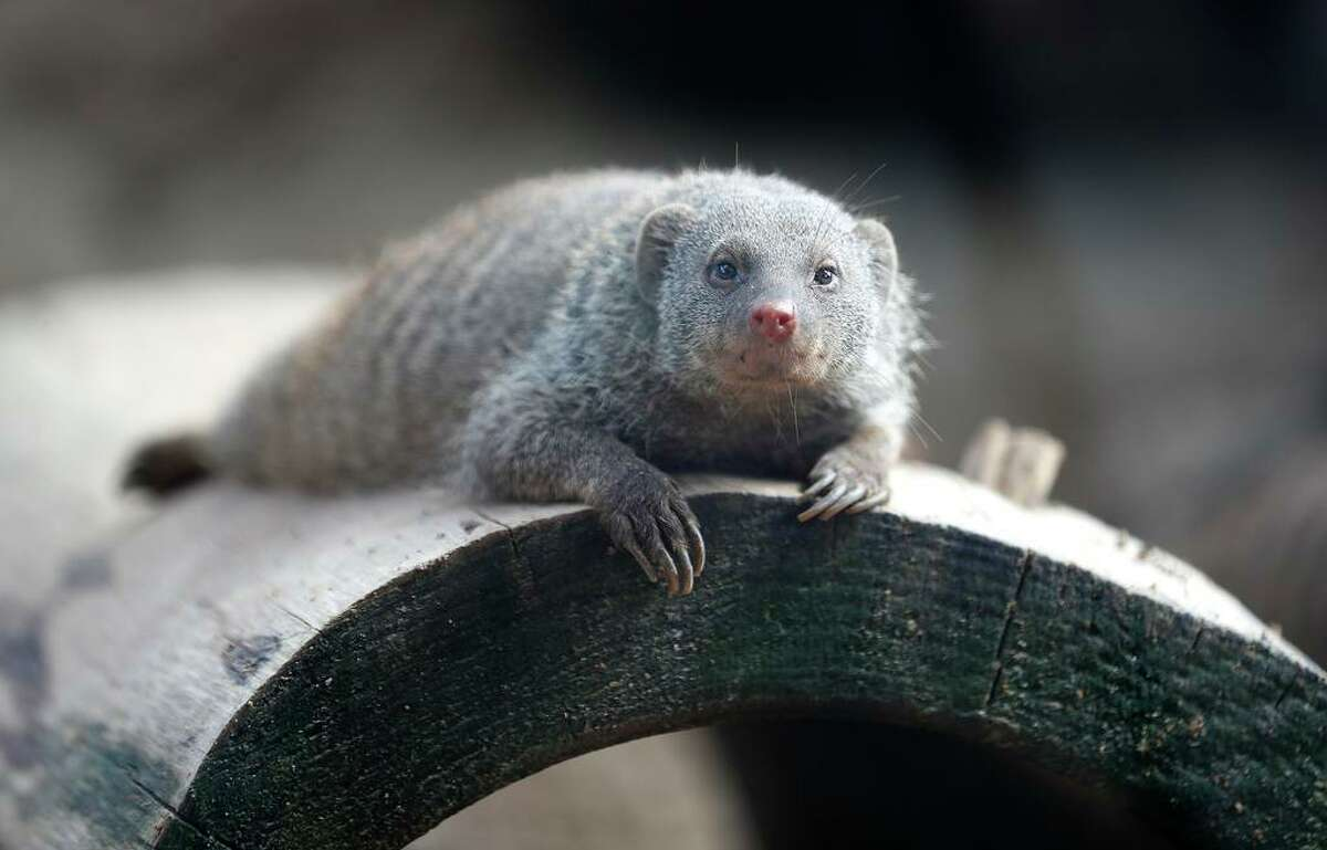 Get an up close look at a mongoose and other animals in the Houston Zoo's meet-the-animals livestream on Facebook.