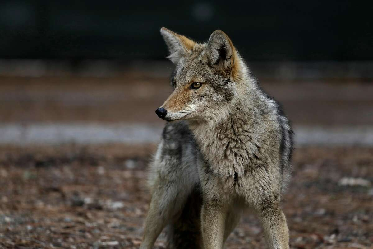 A coyote wanders around Curry Village in Yosemite Valley on April 11, 2020. Yosemite National Park is closed to visitors due to the coronavirus, Covid 19. Animals roam the park without having to worry about crowds of people. Madera County on Saturday, April 11, 2020 in Yosemite National Park, CA. (Carolyn Cole / Los Angeles Times/TNS)