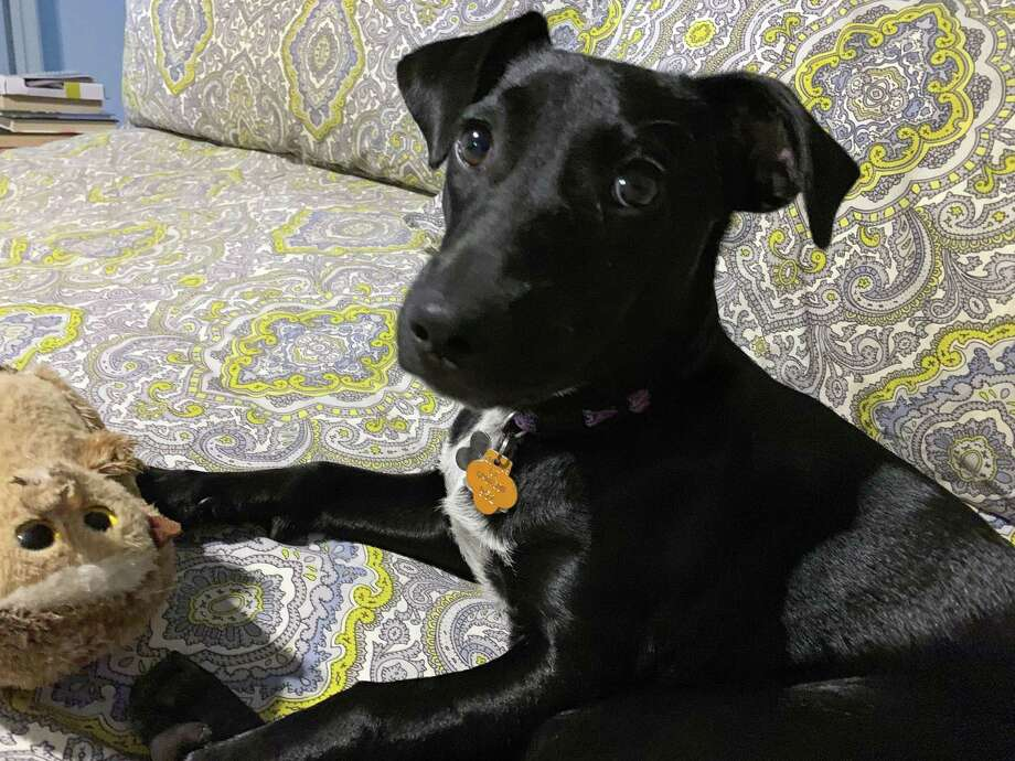 Is this a good time to get a puppy? Some shelters open for adoption by appointment; others closed. Brie, was adopted well before the COVID-19 pandemic. Photo: Contributed Photo