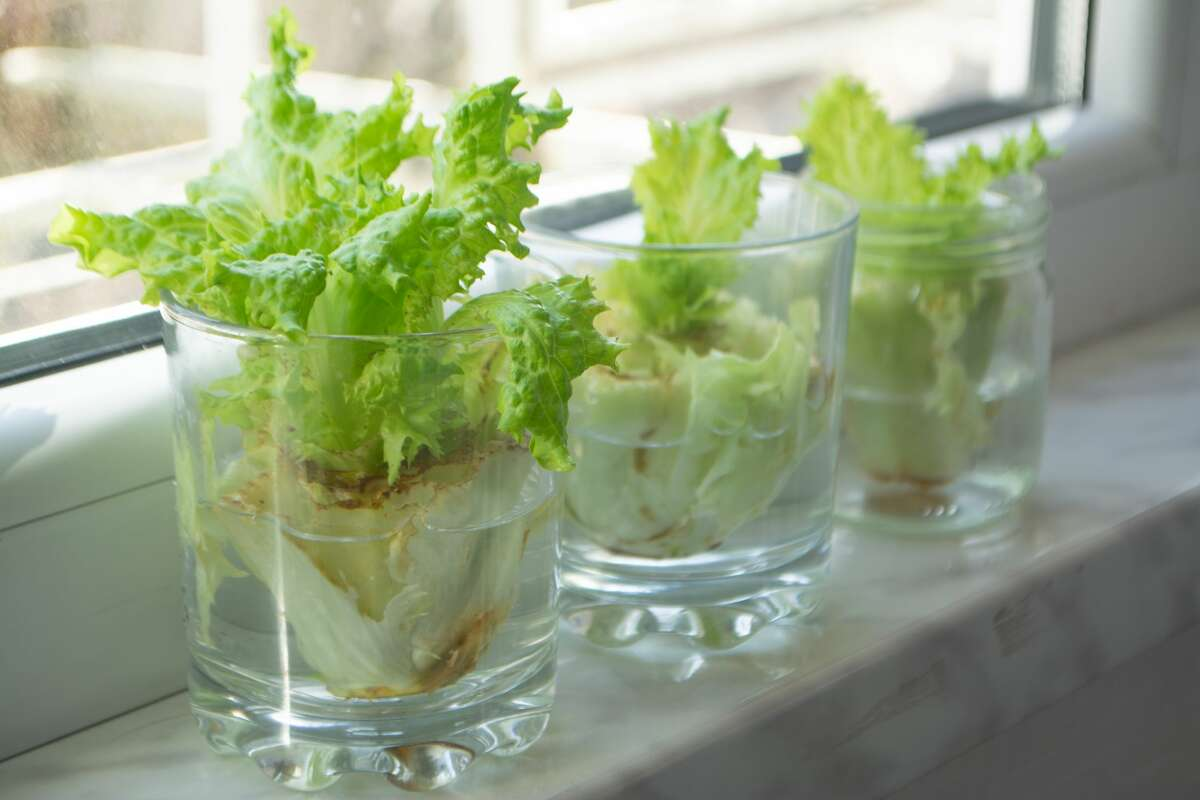 Regrow romaine lettuce Don't chuck those romaine lettuce hearts, either - you can grow new leaves by just leaving the stem in water. It's not going to be a full head of lettuce, but it'll be just enough to top a sandwich or make a small salad.